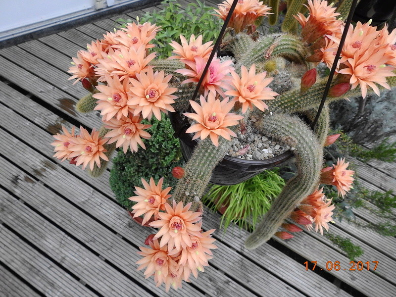 Cacti and Sukkulent in Köln, every day new flowers in the greenhouse Part 167 Bild1319