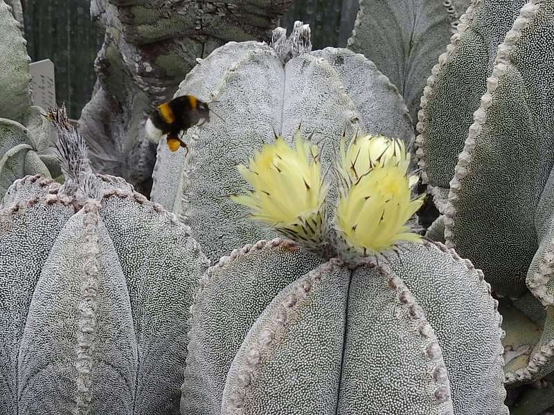 Cacti and Sukkulent in Köln, every day new flowers in the greenhouse Part 167 Bild1321