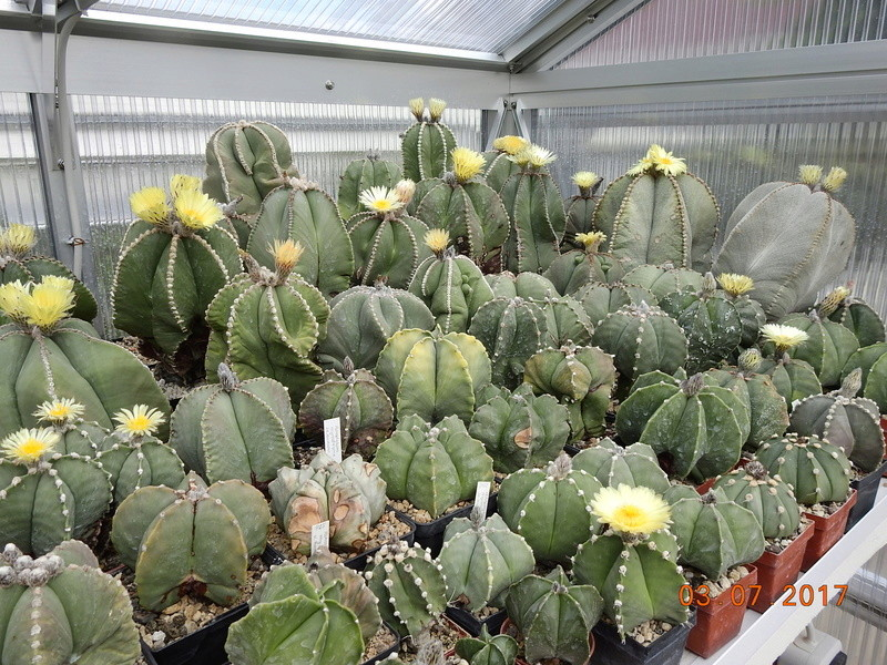 Cacti and Sukkulent in Köln, every day new flowers in the greenhouse Part 167 Bild1323