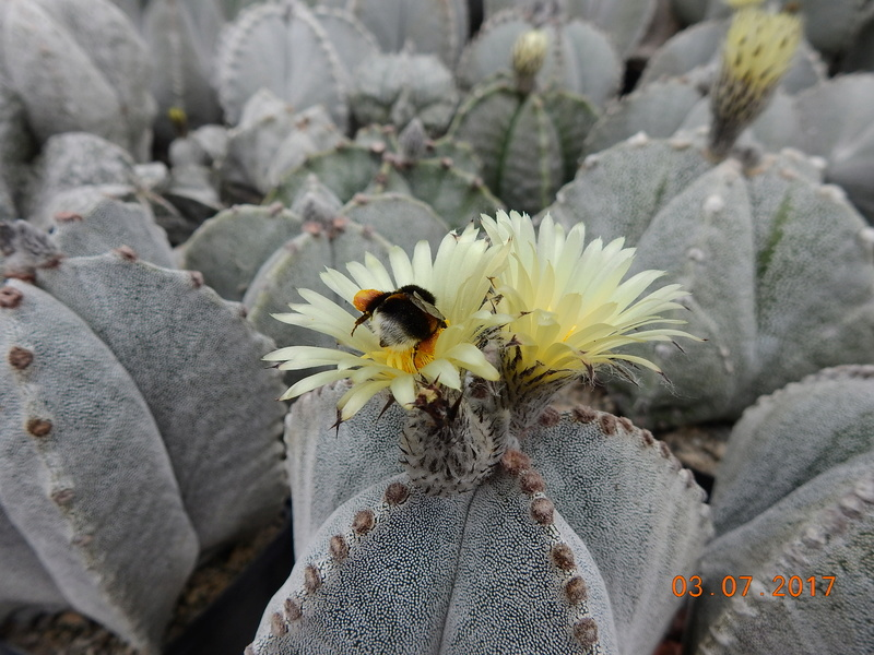 Cacti and Sukkulent in Köln, every day new flowers in the greenhouse Part 167 Bild1326