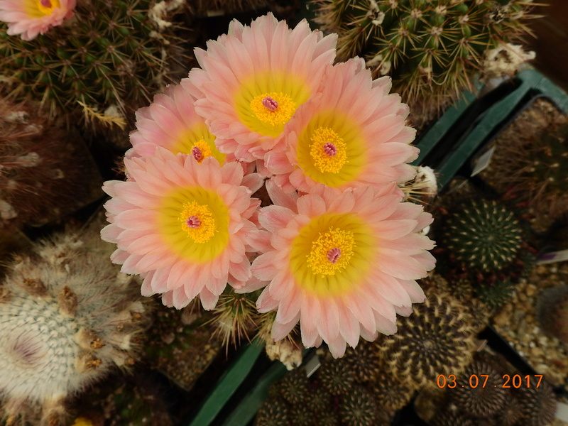 Cacti and Sukkulent in Köln, every day new flowers in the greenhouse Part 167 Bild1329