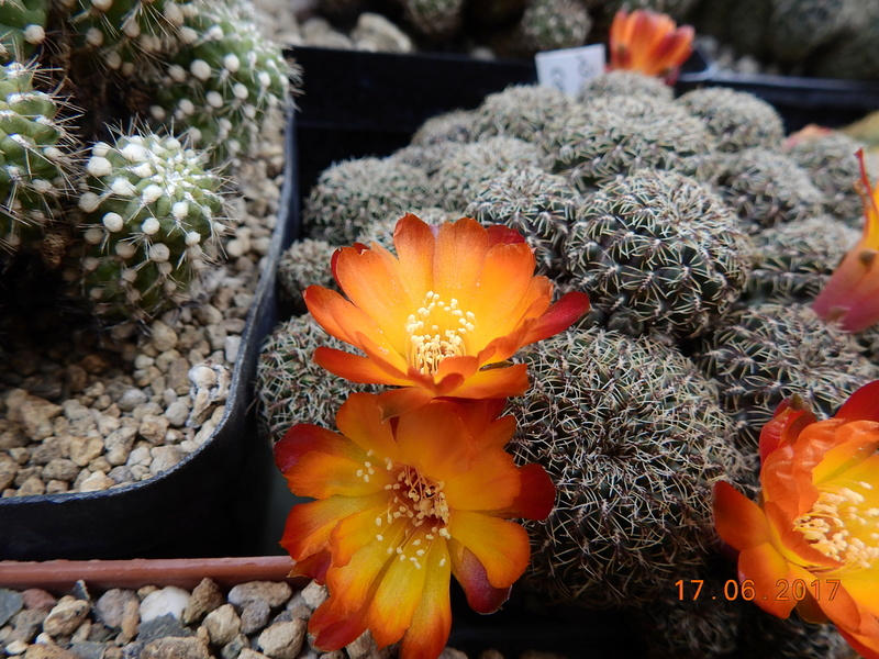 Cacti and Sukkulent in Köln, every day new flowers in the greenhouse Part 167 Bild1331