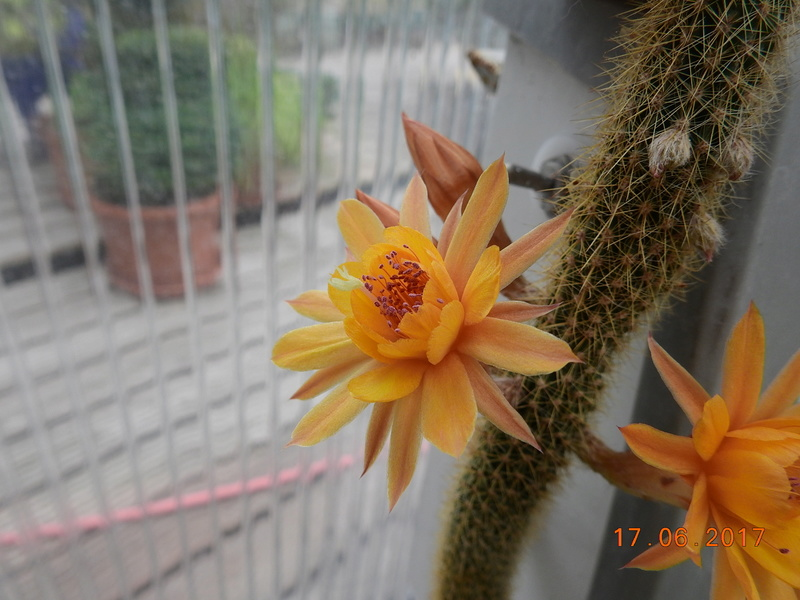 Cacti and Sukkulent in Köln, every day new flowers in the greenhouse Part 167 Bild1333