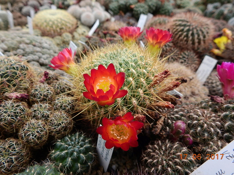Cacti and Sukkulent in Köln, every day new flowers in the greenhouse Part 167 Bild1334