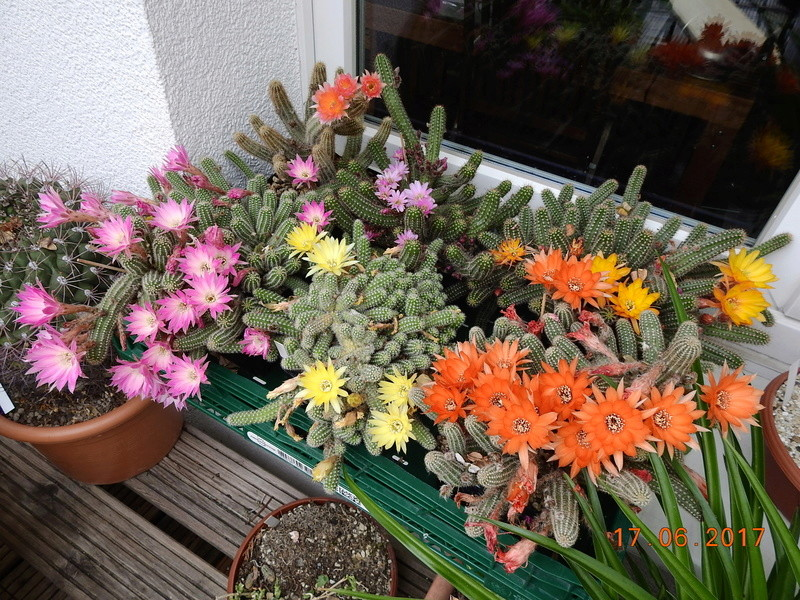 Cacti and Sukkulent in Köln, every day new flowers in the greenhouse Part 167 Bild1337