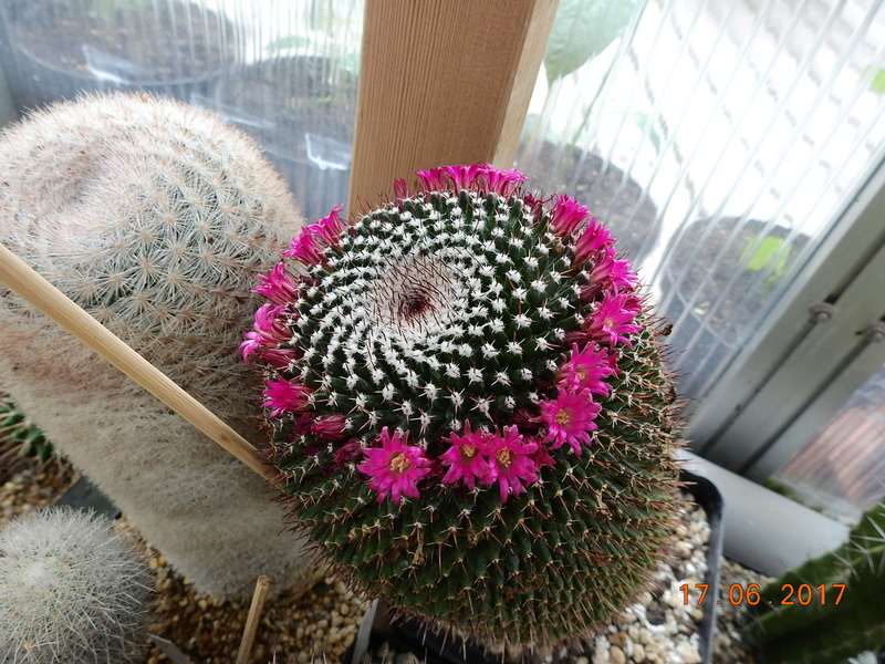 Cacti and Sukkulent in Köln, every day new flowers in the greenhouse Part 167 Bild1338