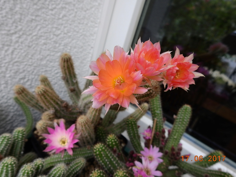 Cacti and Sukkulent in Köln, every day new flowers in the greenhouse Part 167 Bild1339