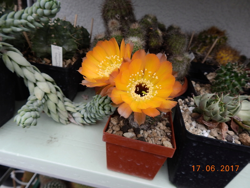 Cacti and Sukkulent in Köln, every day new flowers in the greenhouse Part 167 Bild1340