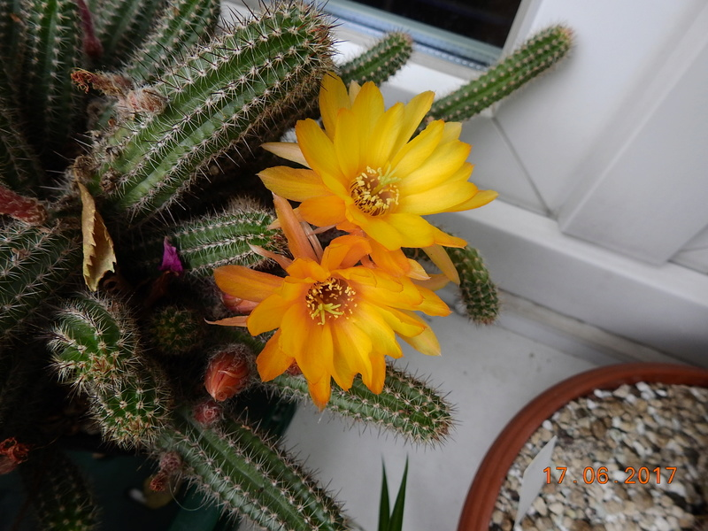 Cacti and Sukkulent in Köln, every day new flowers in the greenhouse Part 167 Bild1341