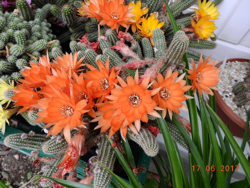 Cacti and Sukkulent in Köln, every day new flowers in the greenhouse Part 167 Bild1342
