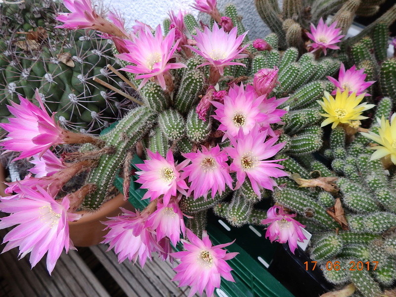 Cacti and Sukkulent in Köln, every day new flowers in the greenhouse Part 167 Bild1343
