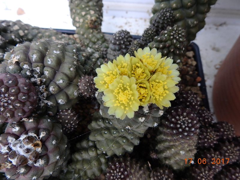 Cacti and Sukkulent in Köln, every day new flowers in the greenhouse Part 167 Bild1345