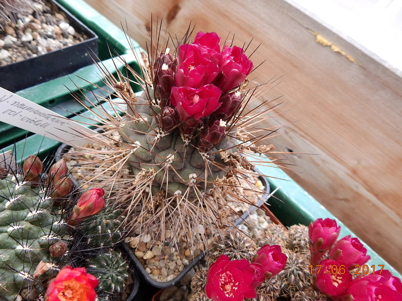 Cacti and Sukkulent in Köln, every day new flowers in the greenhouse Part 167 Bild1347
