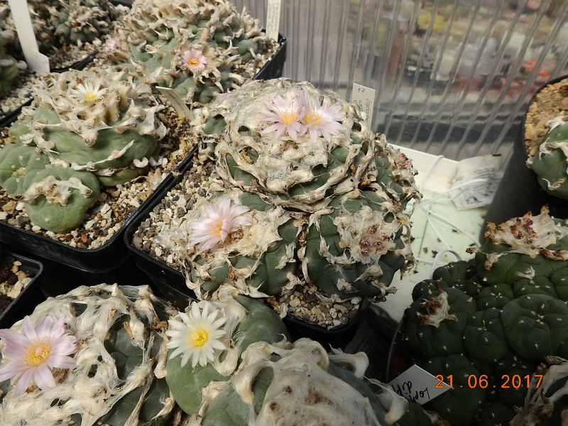 Cacti and Sukkulent in Köln, every day new flowers in the greenhouse Part 169 Bild1525