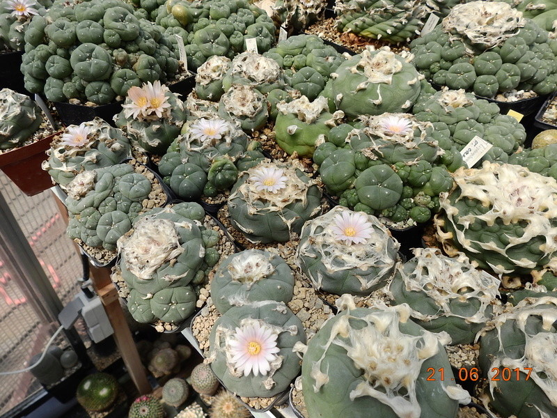 Cacti and Sukkulent in Köln, every day new flowers in the greenhouse Part 169 Bild1526