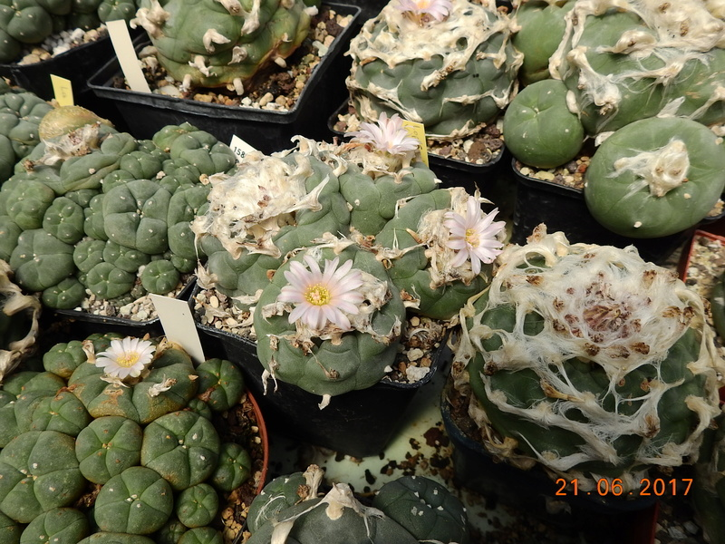 Cacti and Sukkulent in Köln, every day new flowers in the greenhouse Part 169 Bild1527