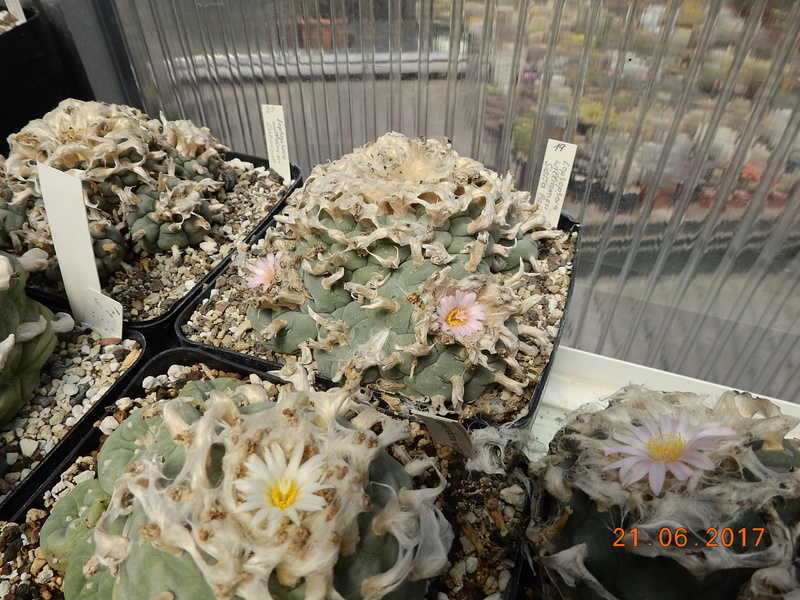 Cacti and Sukkulent in Köln, every day new flowers in the greenhouse Part 169 Bild1530