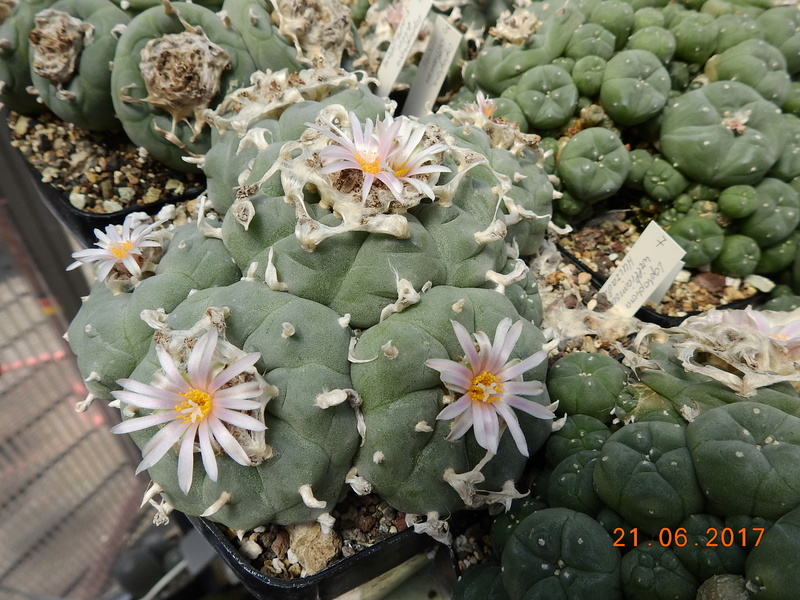 Cacti and Sukkulent in Köln, every day new flowers in the greenhouse Part 169 Bild1532