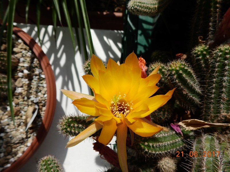 Cacti and Sukkulent in Köln, every day new flowers in the greenhouse Part 169 Bild1541