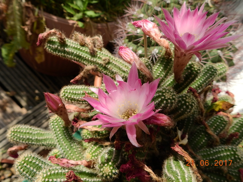 Cacti and Sukkulent in Köln, every day new flowers in the greenhouse Part 169 Bild1542