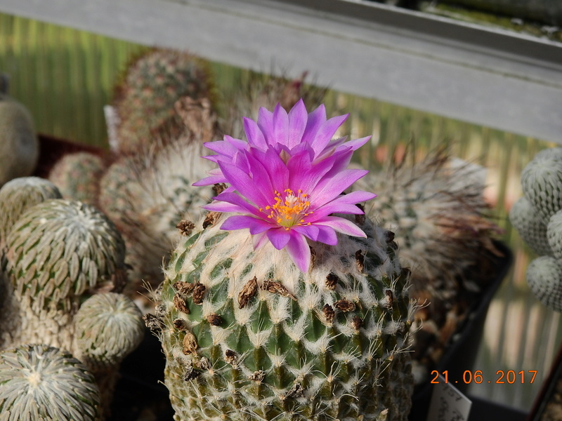 Cacti and Sukkulent in Köln, every day new flowers in the greenhouse Part 169 Bild1543