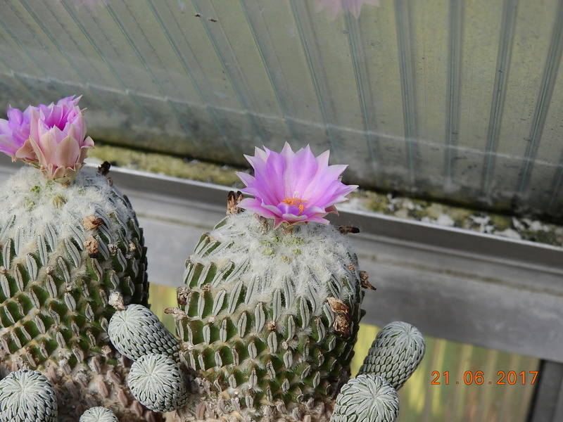 Cacti and Sukkulent in Köln, every day new flowers in the greenhouse Part 169 Bild1545
