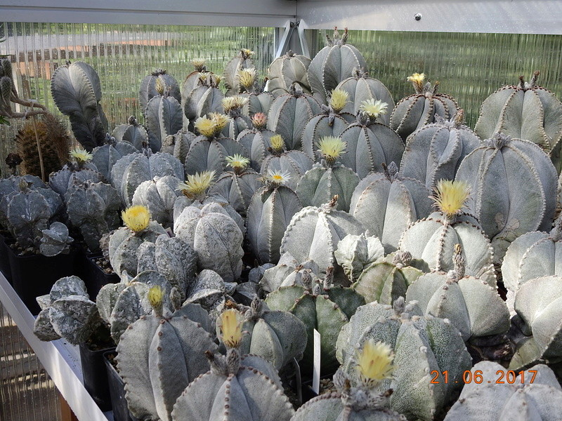 Cacti and Sukkulent in Köln, every day new flowers in the greenhouse Part 169 Bild1546