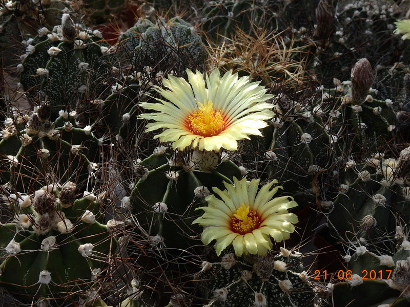 Cacti and Sukkulent in Köln, every day new flowers in the greenhouse Part 169 Bild1548