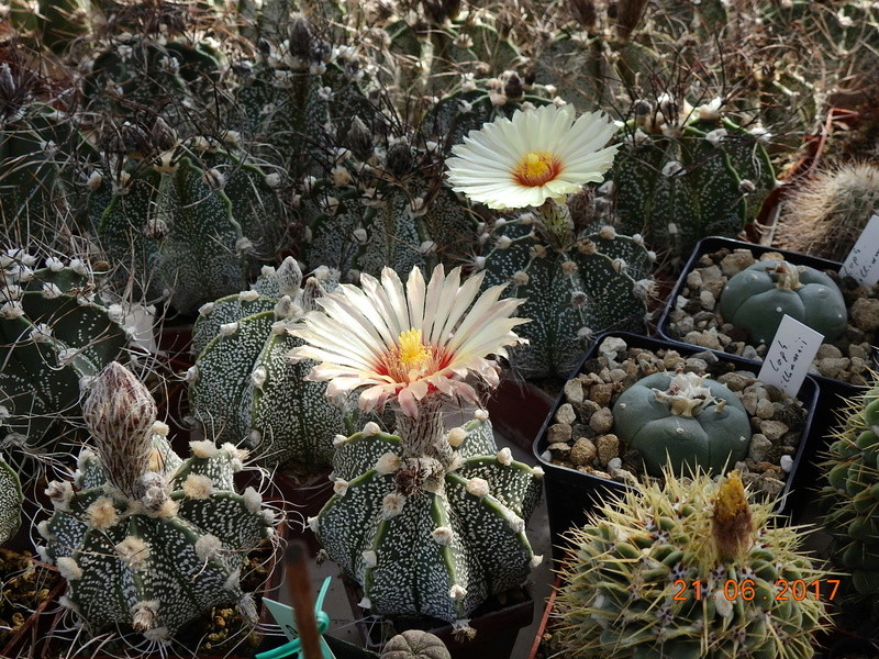 Cacti and Sukkulent in Köln, every day new flowers in the greenhouse Part 169 Bild1549