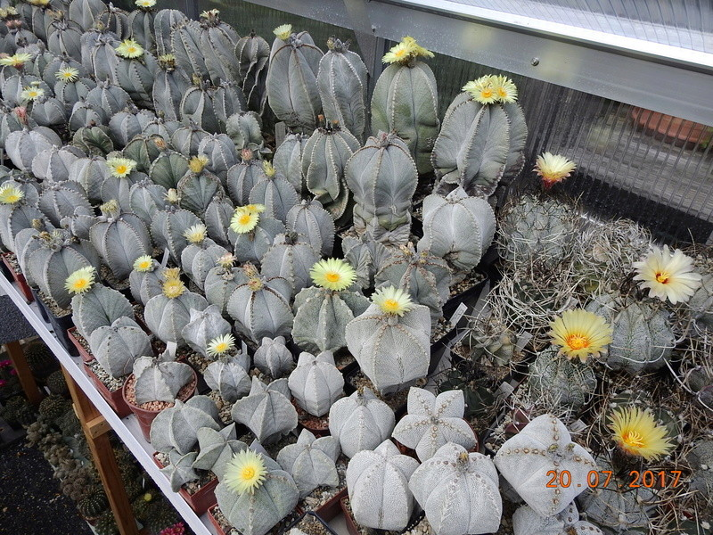 Cacti and Sukkulent in Köln, every day new flowers in the greenhouse Part 169 Bild1557
