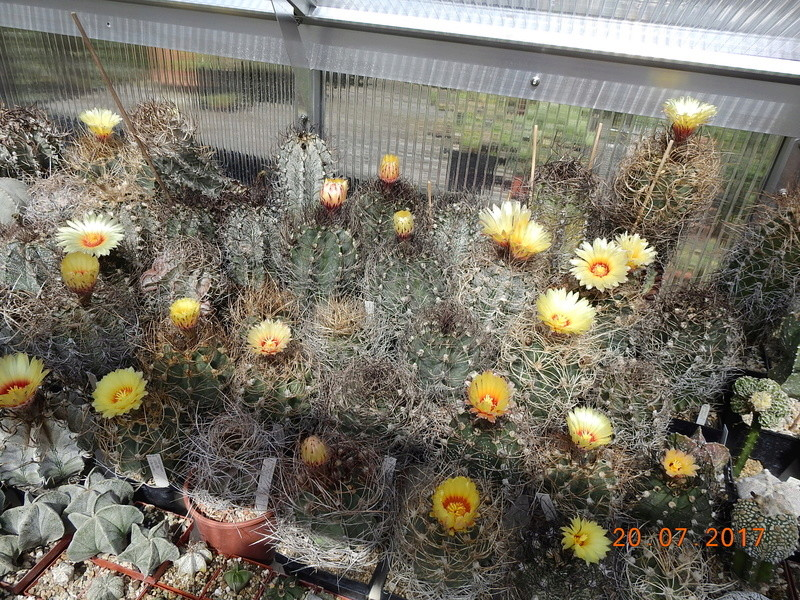 Cacti and Sukkulent in Köln, every day new flowers in the greenhouse Part 169 Bild1558