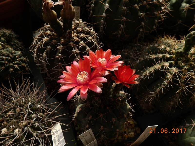 Cacti and Sukkulent in Köln, every day new flowers in the greenhouse Part 169 Bild1571