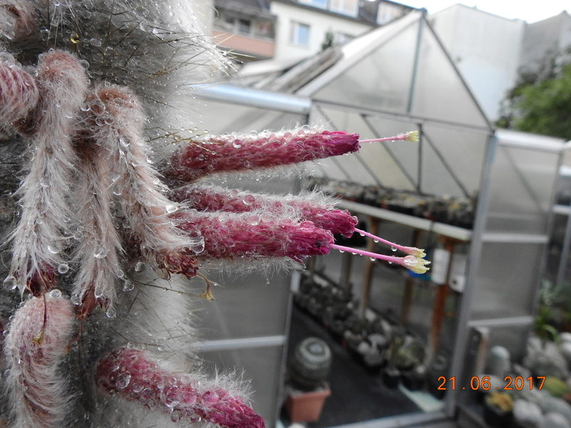 Cacti and Sukkulent in Köln, every day new flowers in the greenhouse Part 169 Bild1573