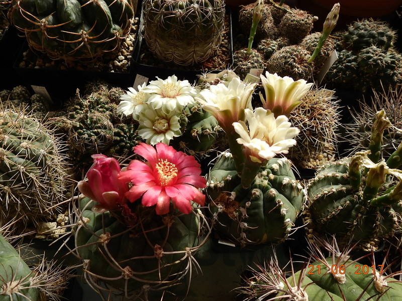 Cacti and Sukkulent in Köln, every day new flowers in the greenhouse Part 169 Bild1574