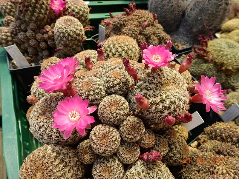 Cacti and Sukkulent in Köln, every day new flowers in the greenhouse Part 169 Bild1578