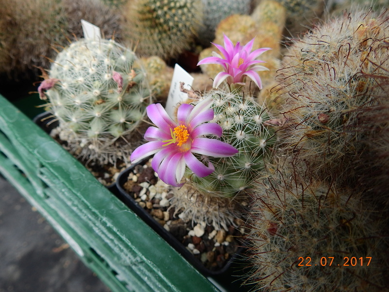 Cacti and Sukkulent in Köln, every day new flowers in the greenhouse Part 169 Bild1595