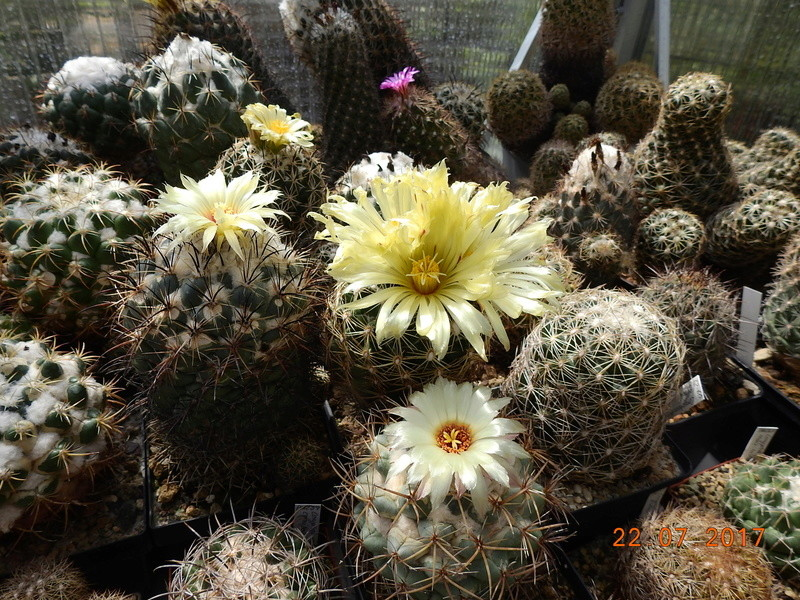 Cacti and Sukkulent in Köln, every day new flowers in the greenhouse Part 169 Bild1598