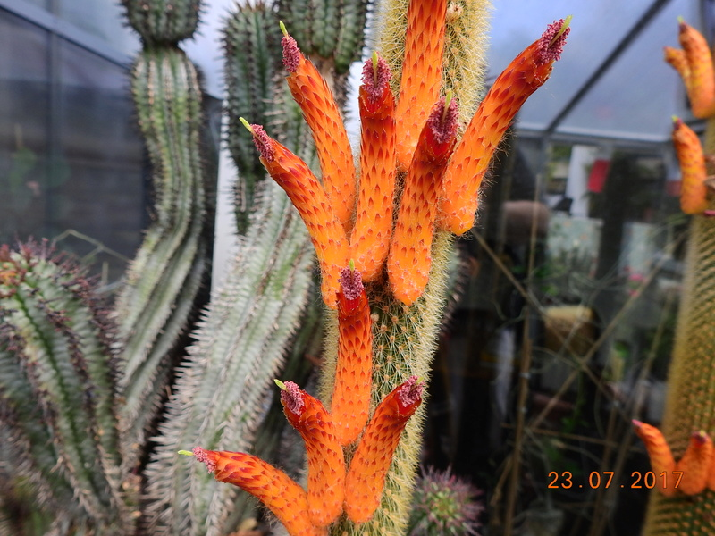 Cacti and Sukkulent in Köln, every day new flowers in the greenhouse Part 169 Bild1599