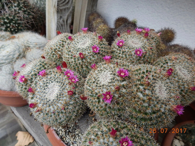 Cacti and Sukkulent in Köln, every day new flowers in the greenhouse Part 169 Bild1604