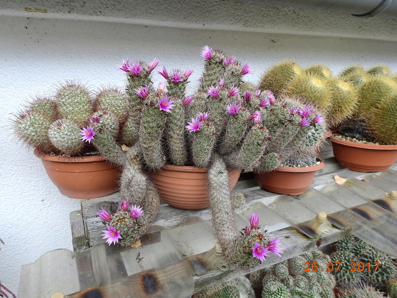 Cacti and Sukkulent in Köln, every day new flowers in the greenhouse Part 169 Bild1605