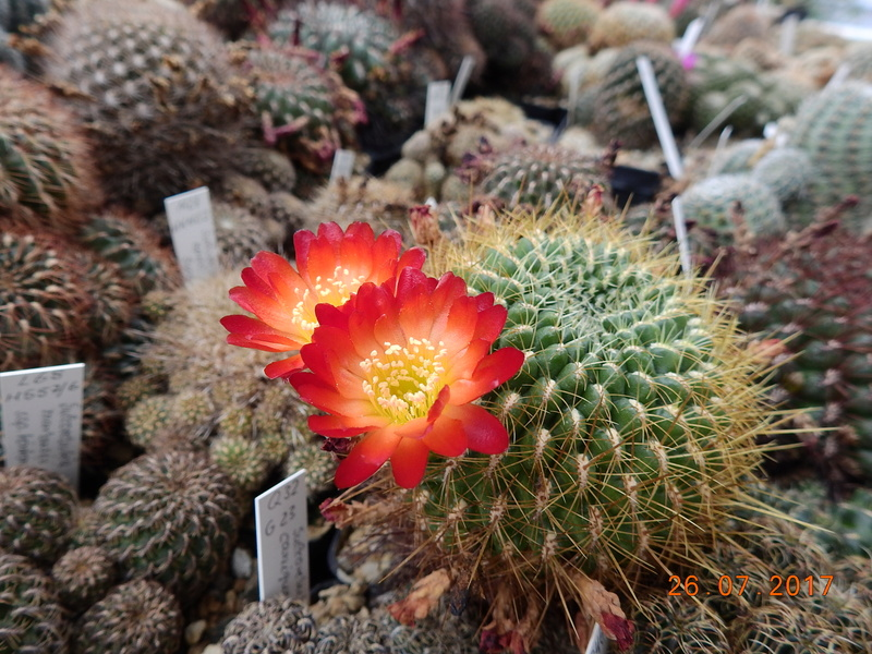 Cacti and Sukkulent in Köln, every day new flowers in the greenhouse Part 169 Bild1607