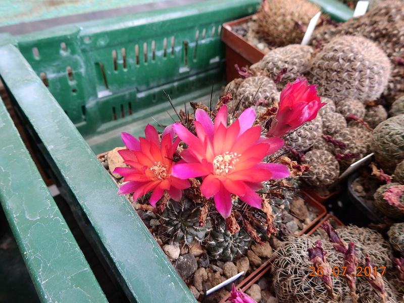 Cacti and Sukkulent in Köln, every day new flowers in the greenhouse Part 169 Bild1608