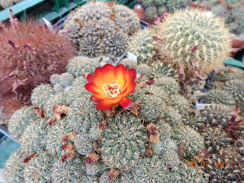 Cacti and Sukkulent in Köln, every day new flowers in the greenhouse Part 169 Bild1609