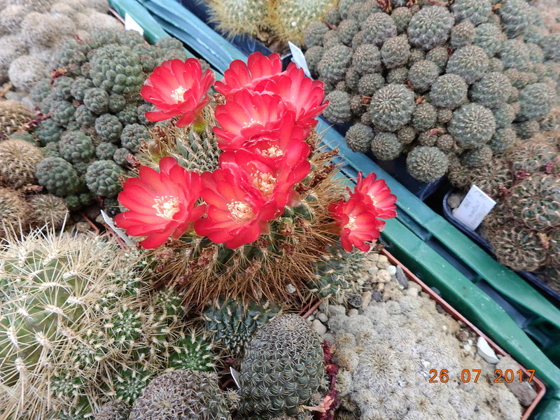 Cacti and Sukkulent in Köln, every day new flowers in the greenhouse Part 169 Bild1610