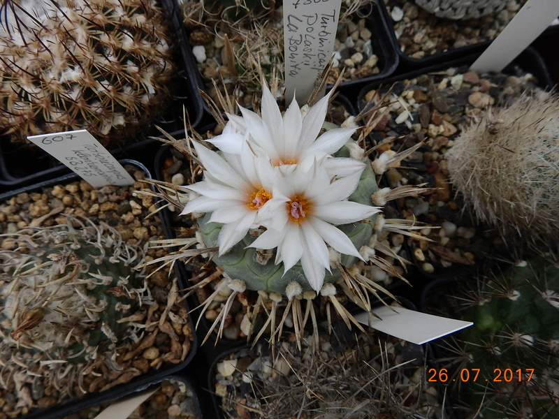 Cacti and Sukkulent in Köln, every day new flowers in the greenhouse Part 169 Bild1613
