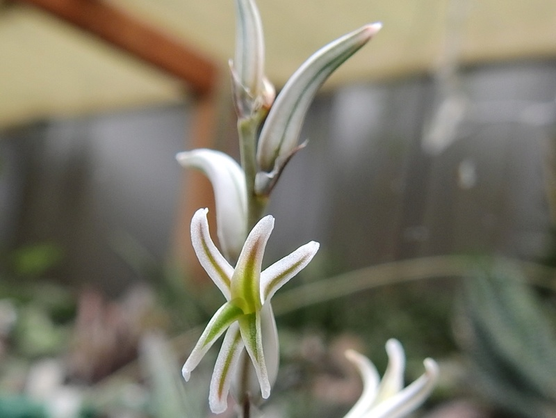 Cacti and Sukkulent in Köln, every day new flowers in the greenhouse Part 169 Bild1621