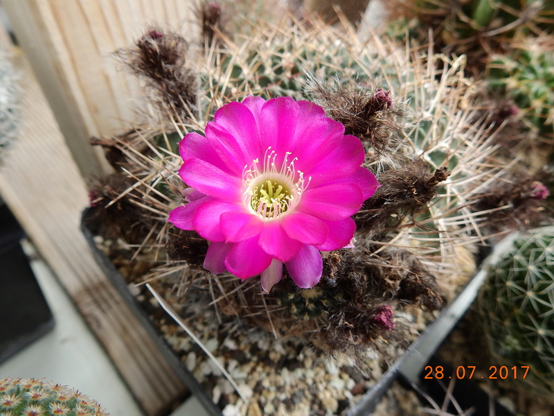 Cacti and Sukkulent in Köln, every day new flowers in the greenhouse Part 169 Bild1644