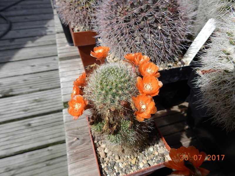 Cacti and Sukkulent in Köln, every day new flowers in the greenhouse Part 170 Bild1677