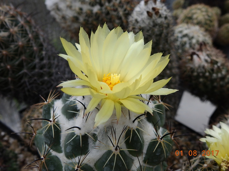 Cacti and Sukkulent in Köln, every day new flowers in the greenhouse Part 170 Bild1705