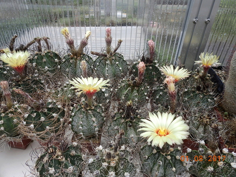 Cacti and Sukkulent in Köln, every day new flowers in the greenhouse Part 170 Bild1708